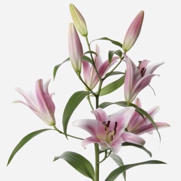 Большой букет лилий Букеты Розовые Venus in Fleurs