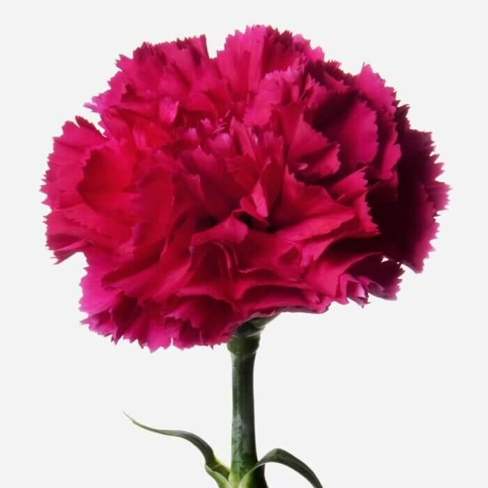 Букет из 25 гвоздик Букеты Красные Venus in Fleurs