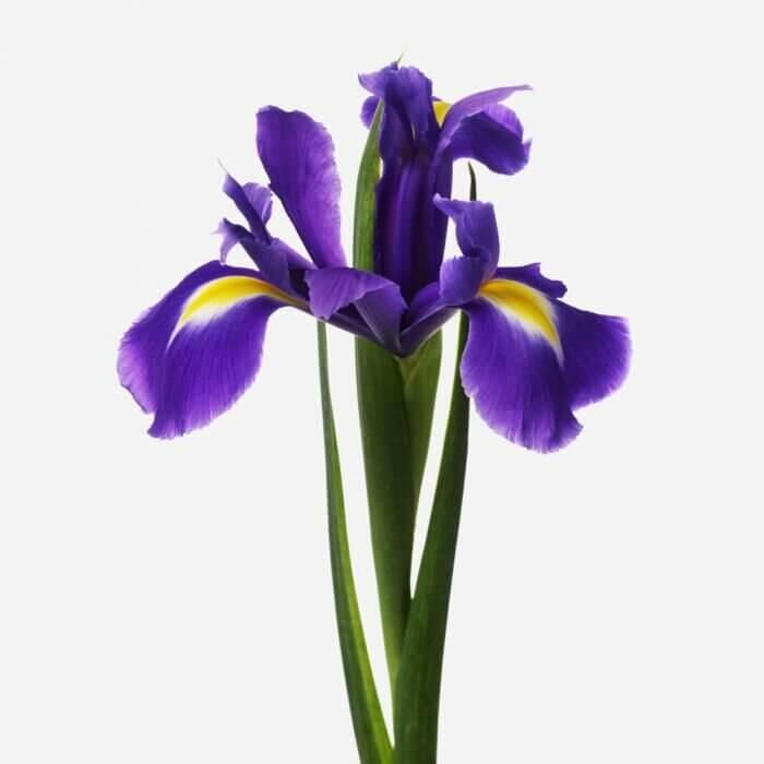 Букет синих ирисов Букеты Синие Venus in Fleurs