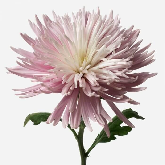 Красивый букет цветов Хризантемы Букеты Фиолетовые Venus in Fleurs