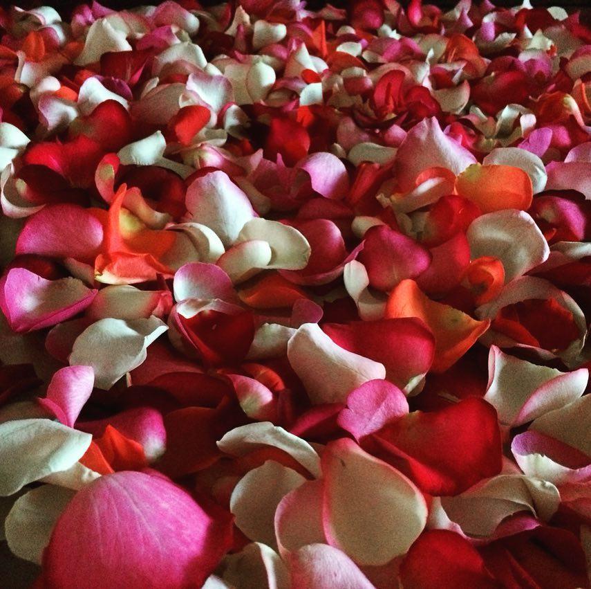 Красно-белые лепестки роз Venus in Fleurs