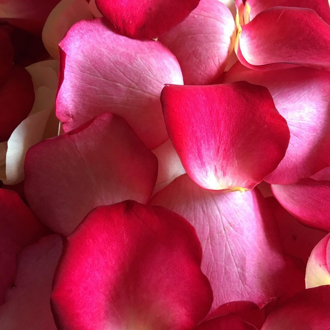 Лепестки красных роз Venus in Fleurs