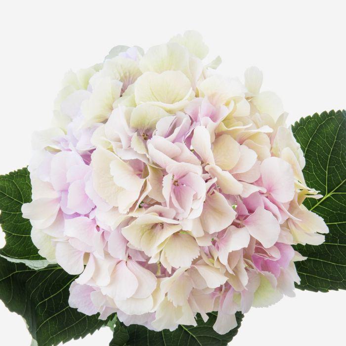 Букет гортензий от 3 шт. Бизнес-букеты Розовые Venus in Fleurs